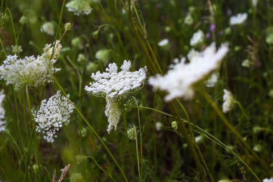 Pc: Permaculture Princess, Queen Anne's Lace, Wild Carrot