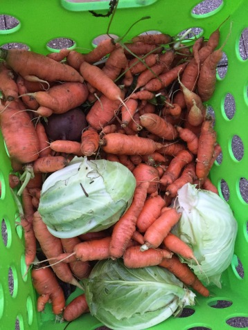 Carrots and cabbage picked from our Wisconsin garden